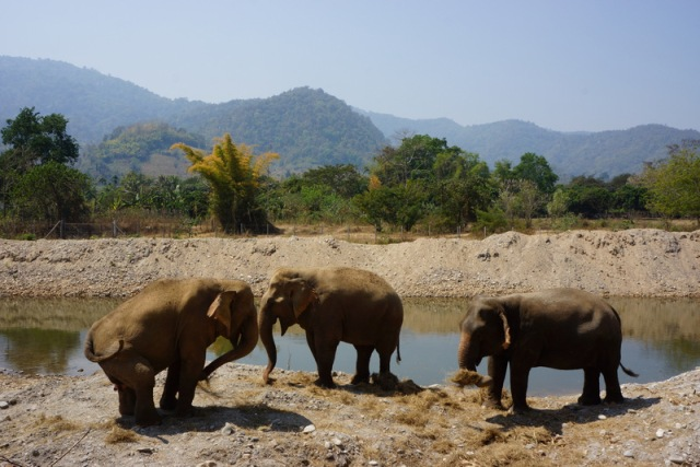 Elephants getting ready to head into the river. Notice the female on the left, her hind leg was permanently disabled during forced breeding.  She walks slowly, but her other two female companions wait for her.