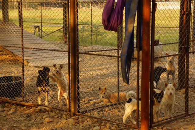 "There were a large number of puppies at the shelter. Many were abandoned or rescued from bad conditions. This is the ""puppy pen"" and they get a lot of attention here."