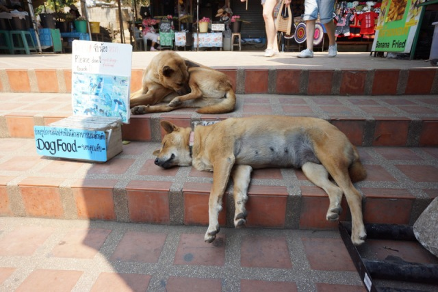 Temple dogs. Many temples care for street dogs.