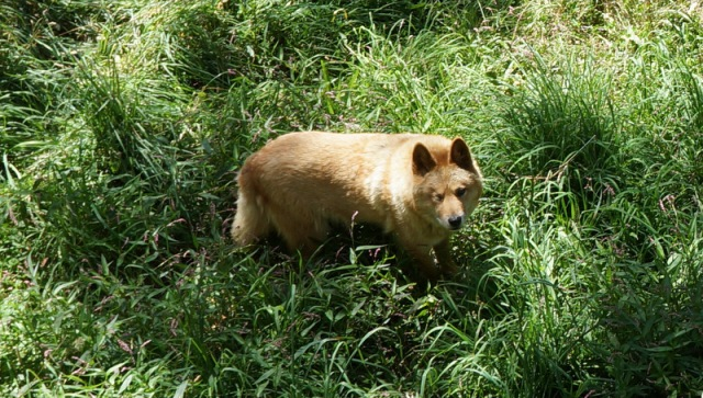 "See this cute and fluffy looking dog? This is a ""dingo"" or wild dog. These dogs were brought by humans to Australia long ago, and now are seen as a pest. It is unfortunate. Farmers regularly poison, shoot and brutally trap them to keep them away from their sheep and cowherds. Australia has gone so far as to construct the longest fence in the world, ""the dingo fence"" to keep them away from farmlands."