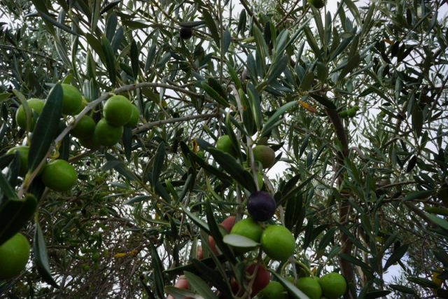 The winery also grew olives.