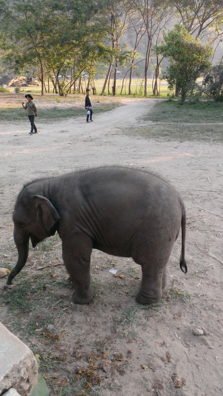 Baby elephant with mahouts in background-no hooks!
