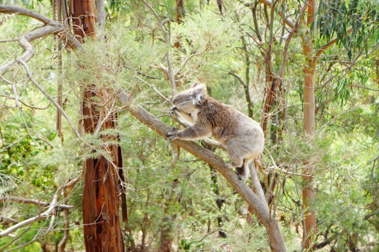 The one time we saw the koala move. They sleep for about 23 hours per day.