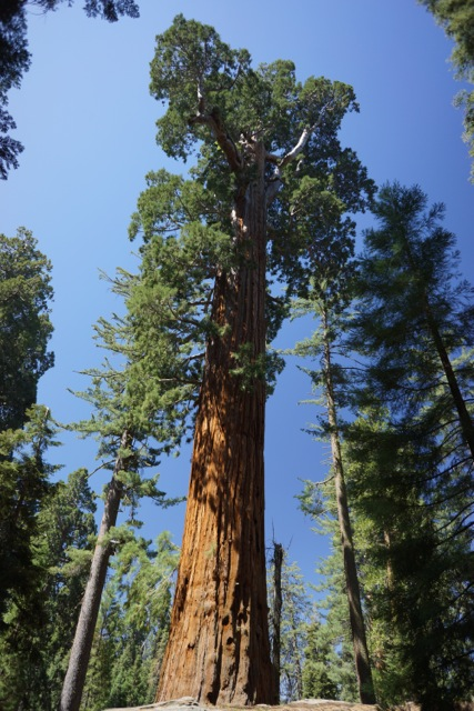 Massive! The General Sherman Tree.