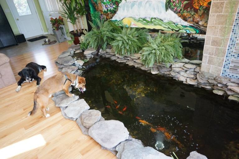My friend Dan, has a Koi pond in his living room! Duke would spend hours and hours just staring at the fish.