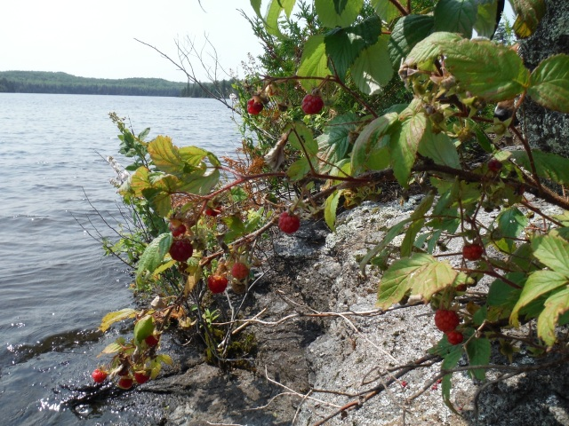 We picked up a canoe load of fire wood from an island and found a ton of wild raspberries.  I ate raspberries while ravi sawed some nice logs for the fire.