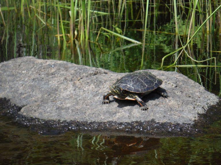 Turtle sunbathing.