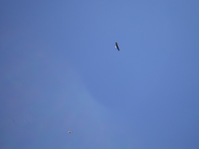 Bald Eagle. Really look close, it's there.