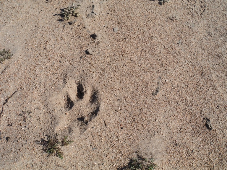 We thought this was maybe a mountain lion print for a while. Then we realized it was just a really big, cute dog that we met later on the trail.