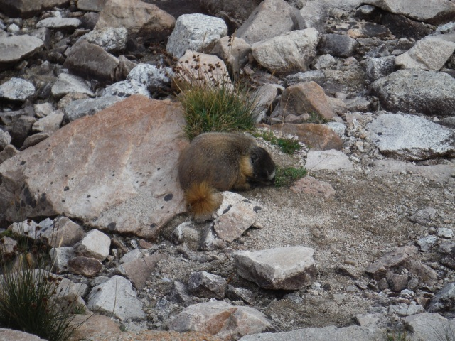 Yellow Bellied Marmot. We saw lots of these and we think they are adorable.