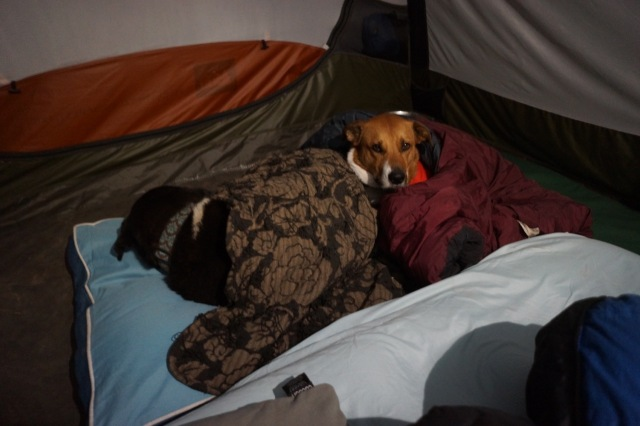 """Duke rolled up in his """"taco""""...a combo of blankets to keep him warm at night! The temps would dip down into the mid 30's at night."""