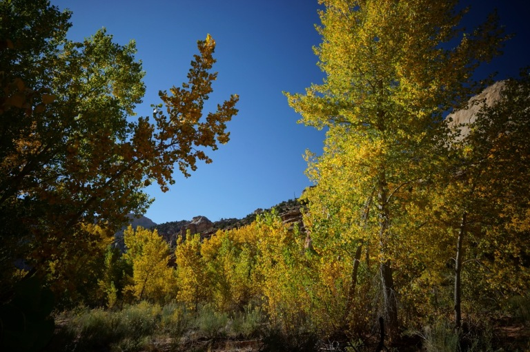 Aspens and cottonwoods.