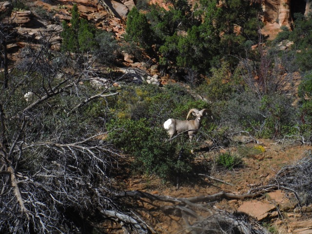 Alison spotted this Big Horn Sheep while driving out the east side of the park!