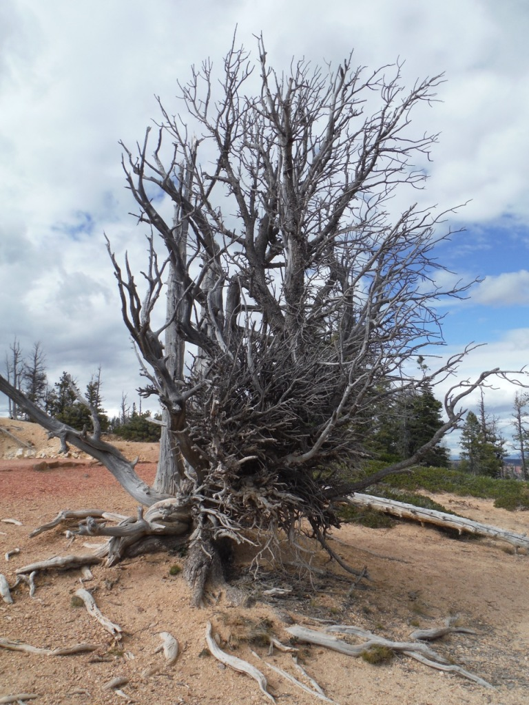 Bristlecone Pine tree - estimated to be 1500 years old! It looks dead, but it isn't....